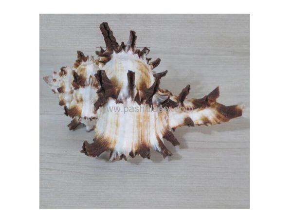 صدف دریایی تزئینی
